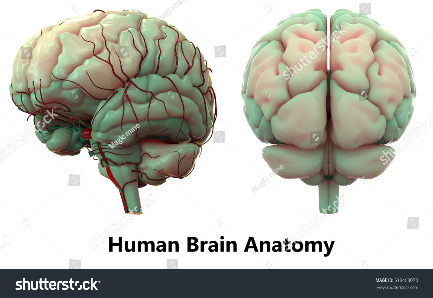 Human Brain Anatomy 3 D Stock Illustration 518403070 - Shutterstock