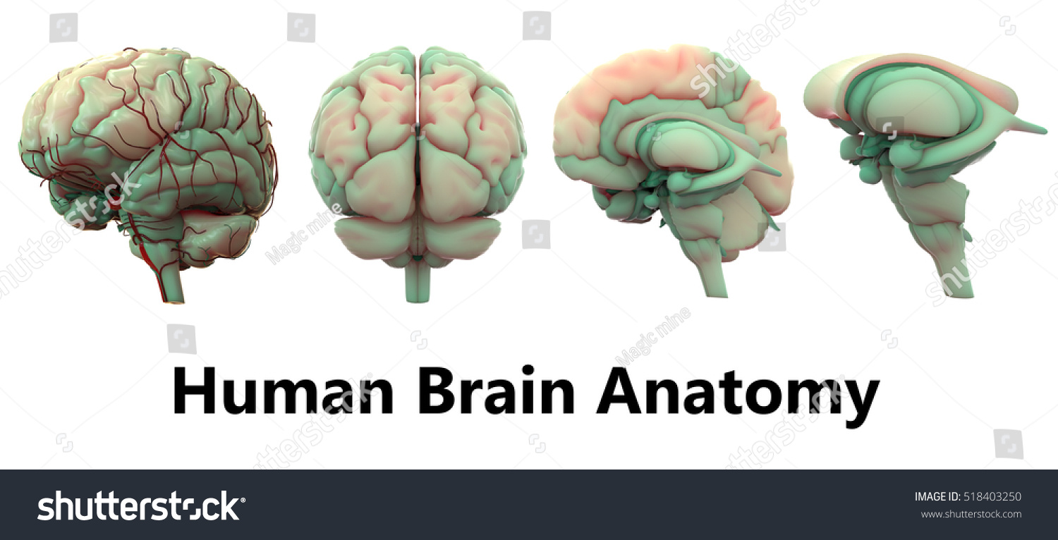 Human Brain Anatomy 3 D Stock Illustration - Royalty Free Stock ...