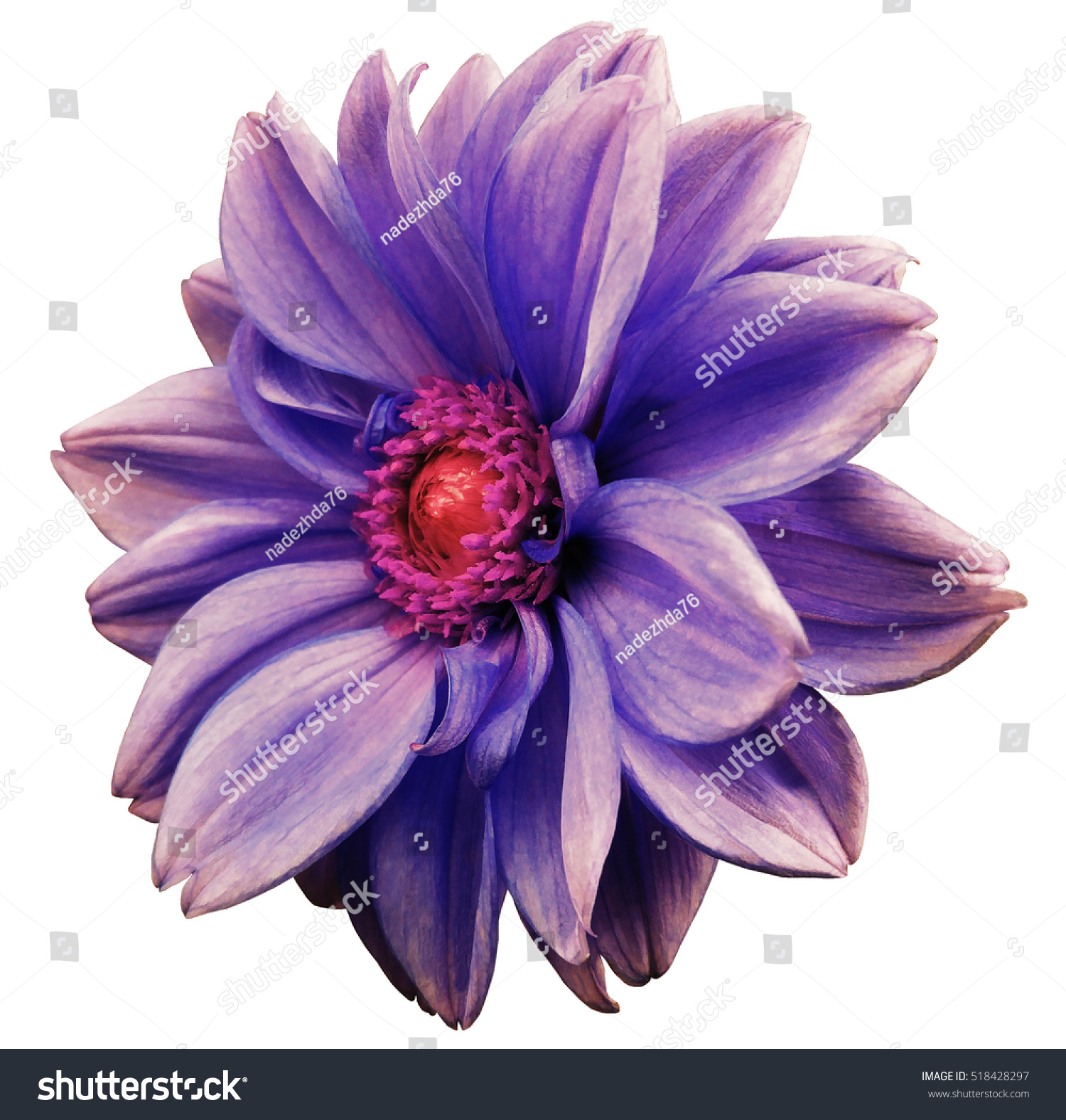 Violet blue white flower dahlia white isolated background with id 518428297 izmirmasajfo