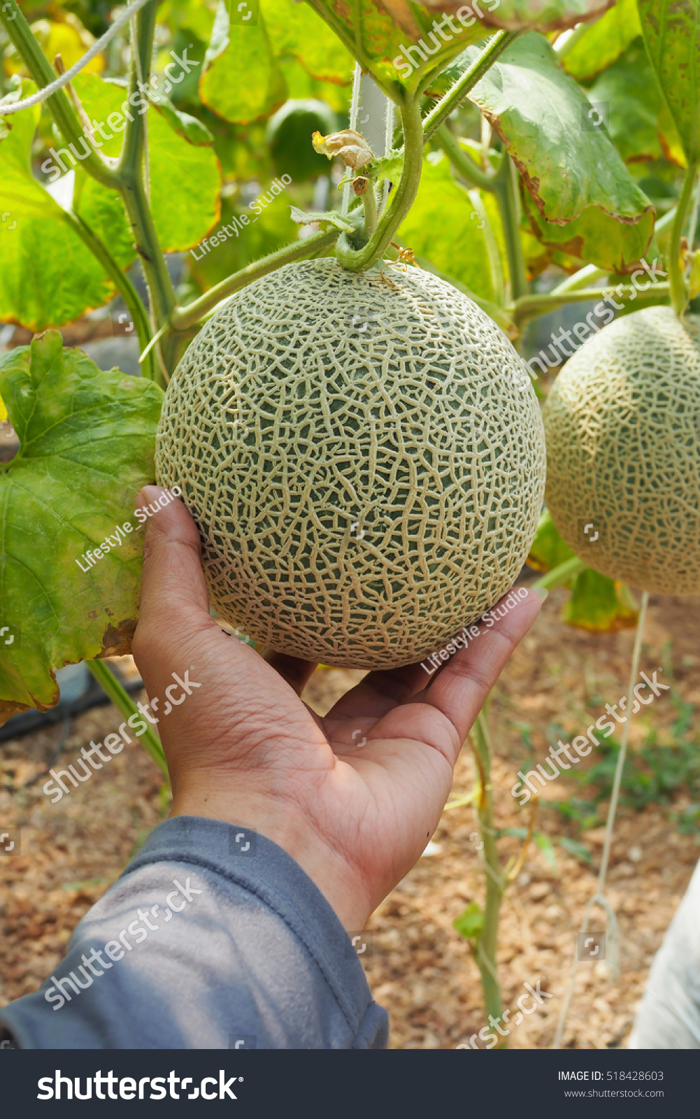 Cantaloupe Fresh Melon Hand On Tree Stock Photo Edit Now 518428603 See more ideas about cantaloupe, cantaloupe and melon, cottage names. shutterstock
