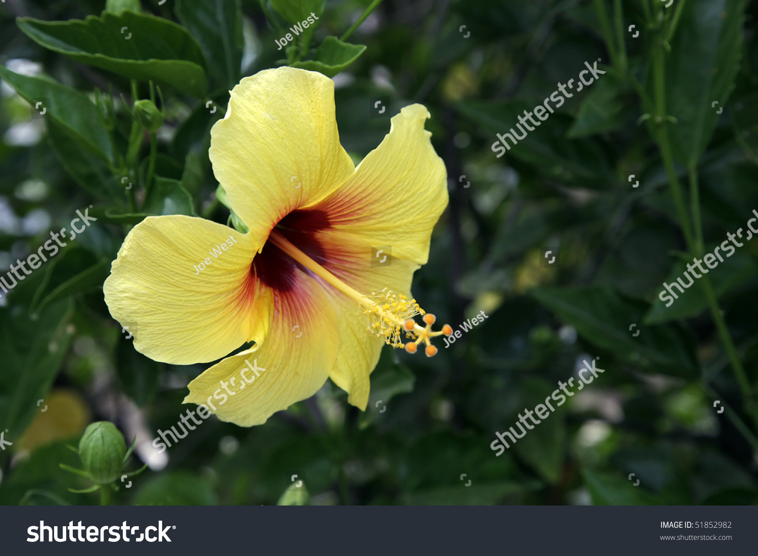 Yellow Hibiscus Hawaii State Flower Stock Shutterstock