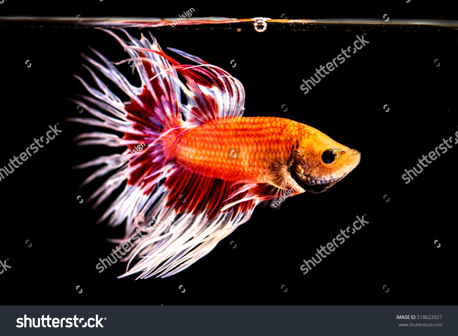 Siamese fighting fish freshwater fish who stock photo for Fish and tails