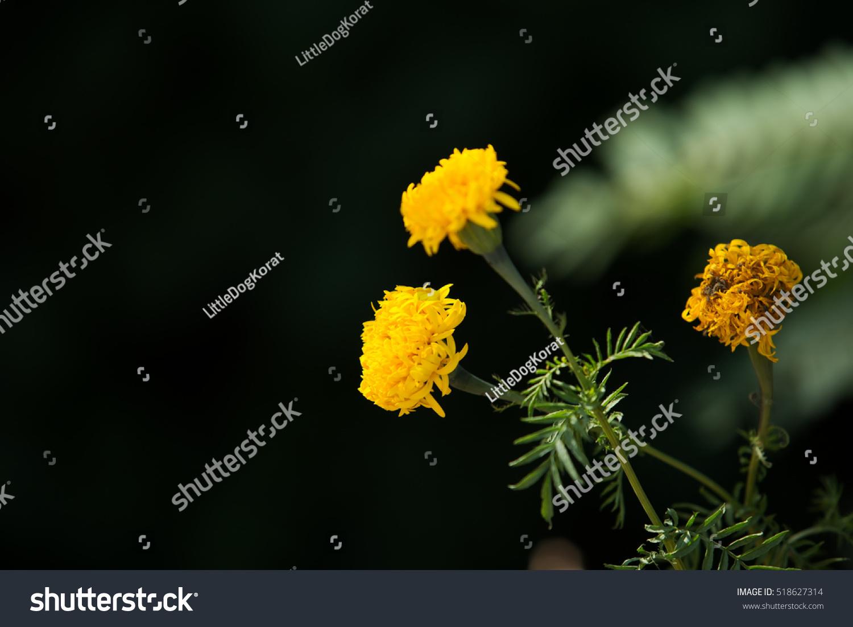 beautiful marigold yellow flowers garden marigold stock photo (edit