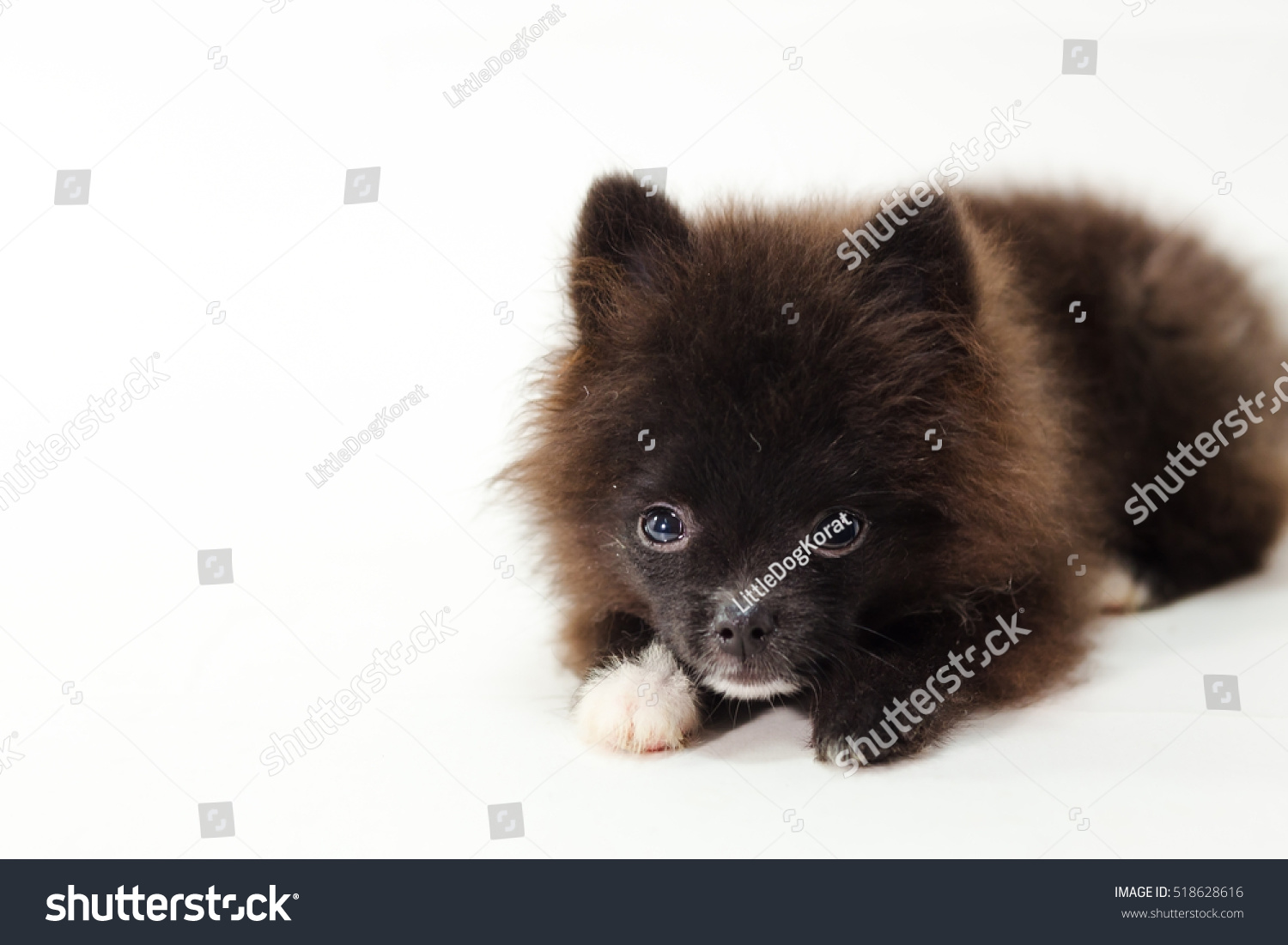 Black Pomeranian Dog Isolated On White Stock Photo Edit Now