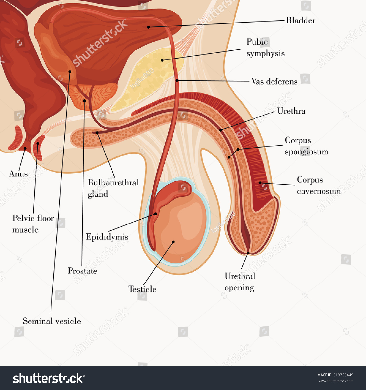 Male Reproductive System Stock Vector (Royalty Free) 518735449 ...