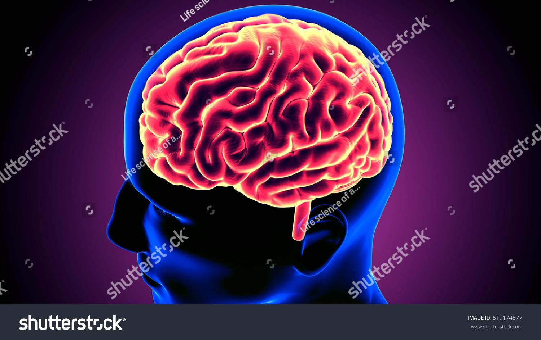 Royalty Free Stock Illustration Of Human Xray Brain Anatomy 3 D