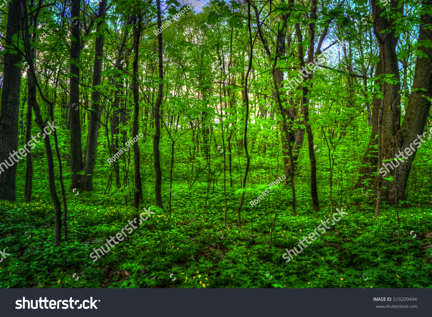 Colorful Summer Landscape Pathway Woods Green Stock Photo 519209494 ...