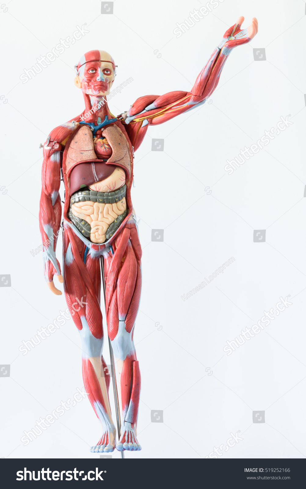 Anatomy Human Body Model On White Stockfoto Jetzt Bearbeiten