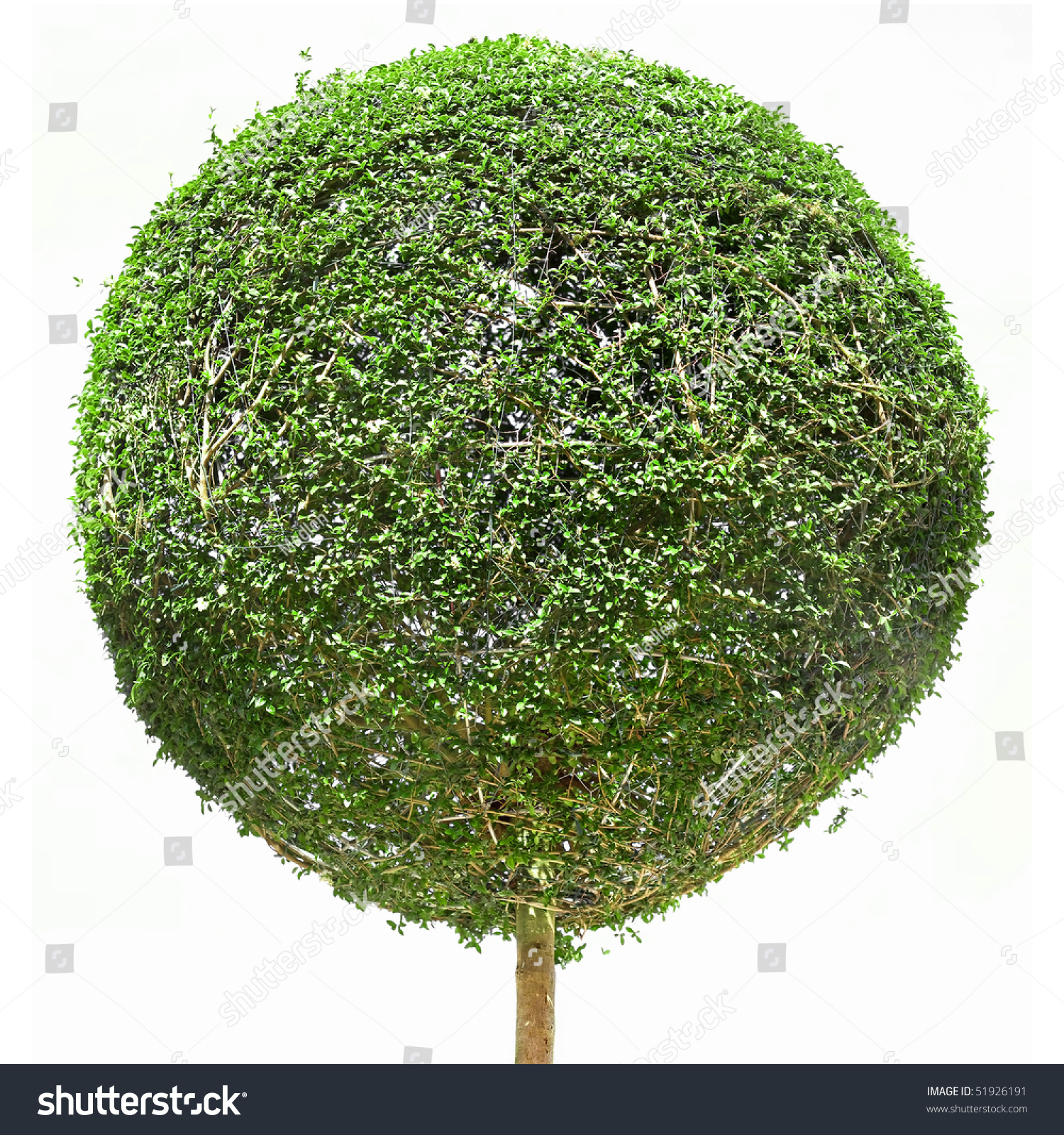 Ornamental evergreen trees - Ornamental Evergreen Tree In The Form Of A Globe Isolated On White Background