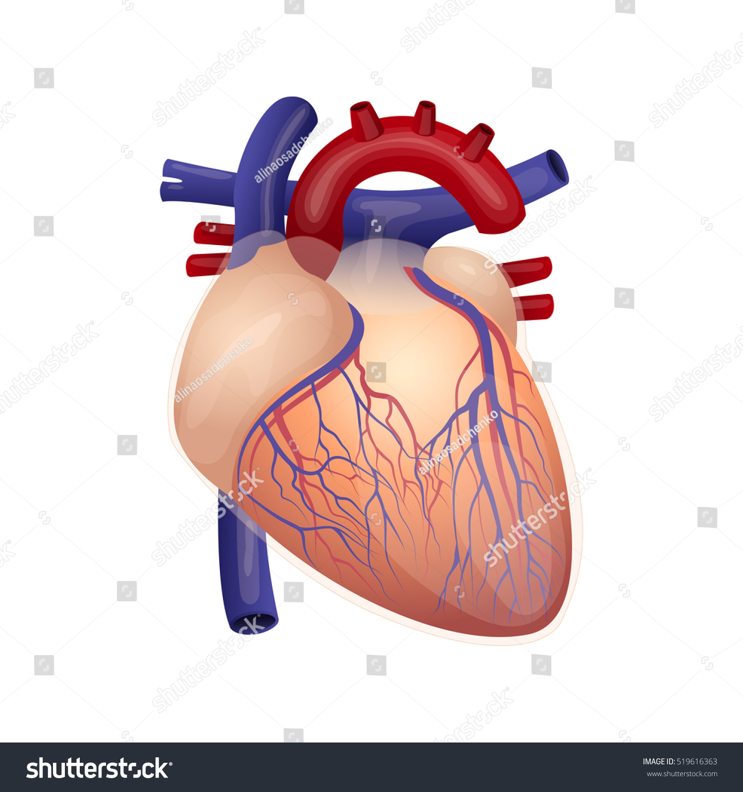 Illustration Of The Humans Heart Humans Organ The Cardiovascular