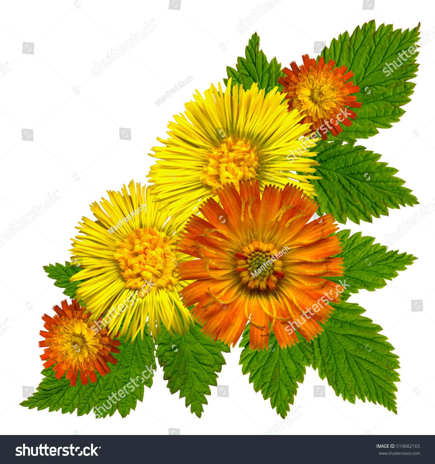 Echinacea Red And Yellow Flowers White Background Ez Canvas