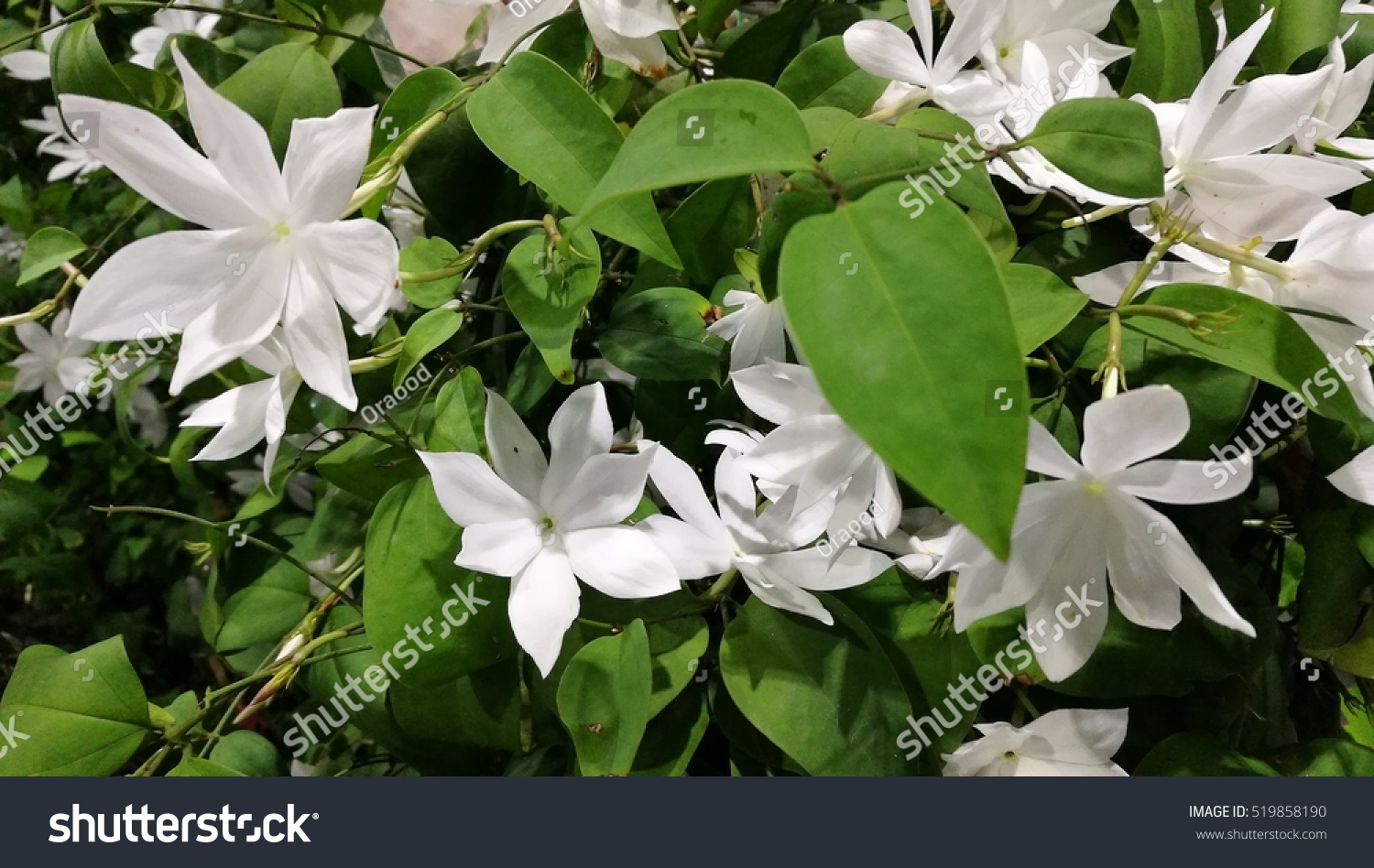 Jasmine Flowers Bloom Background Stock Photo Edit Now 519858190