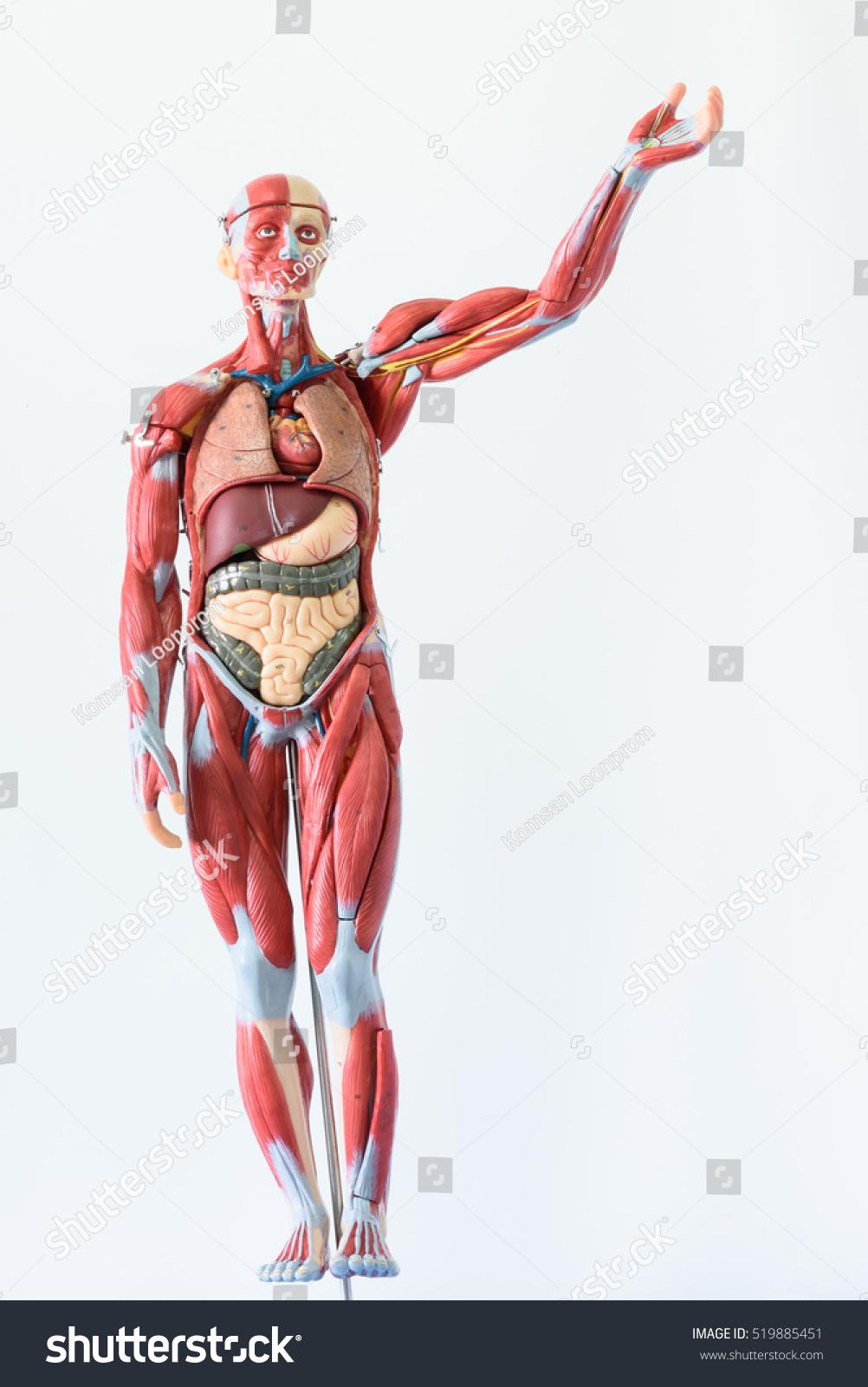 Anatomy Human Body Model On White Stock Photo 519885451 - Shutterstock