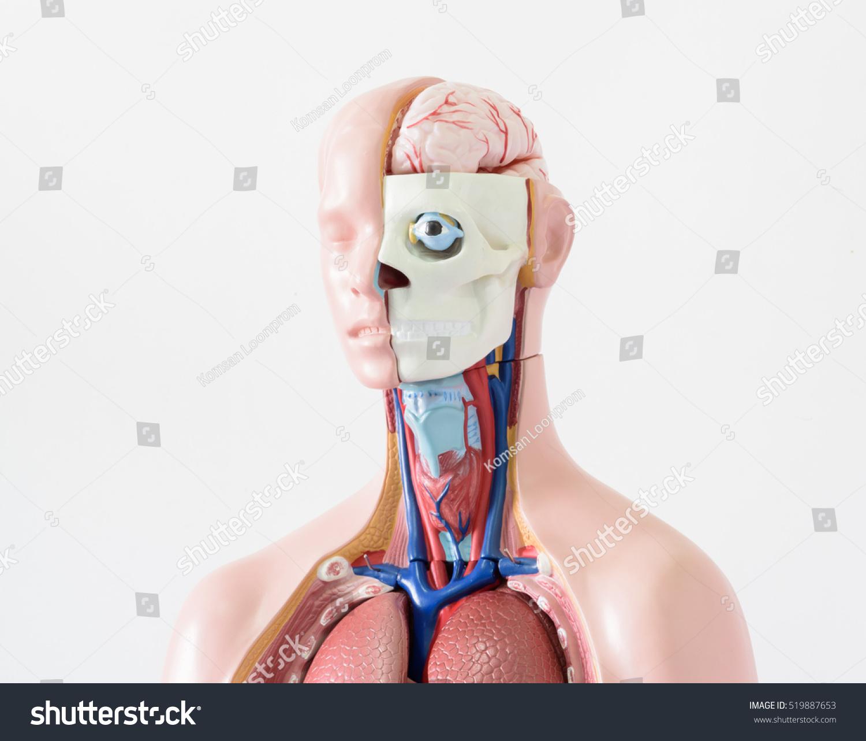 Upper Human Body Anatomy Model On Stock Photo Edit Now 519887653