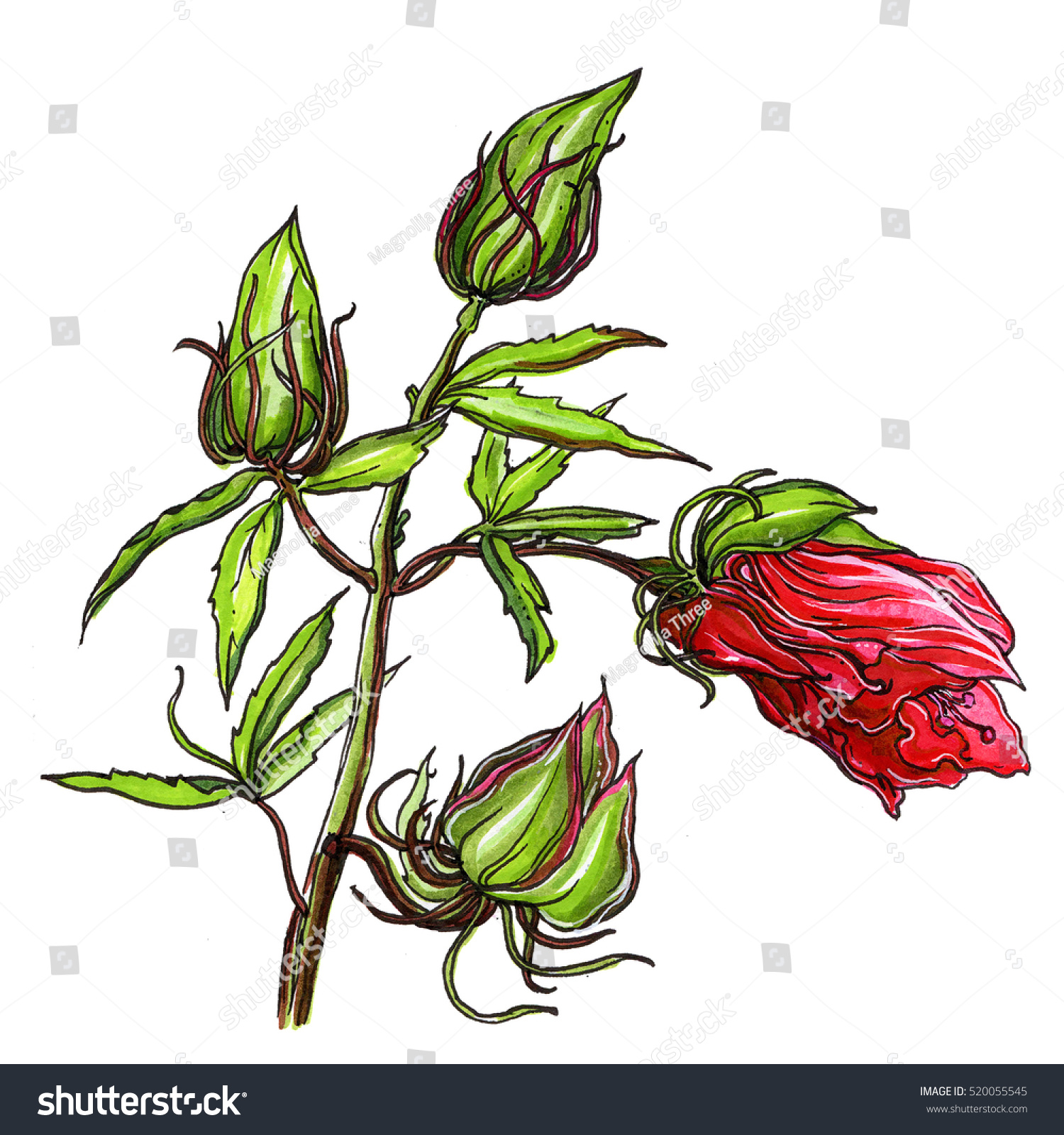 Hibiscus Flower Bud Hand Drawn Decorative Stock Illustration
