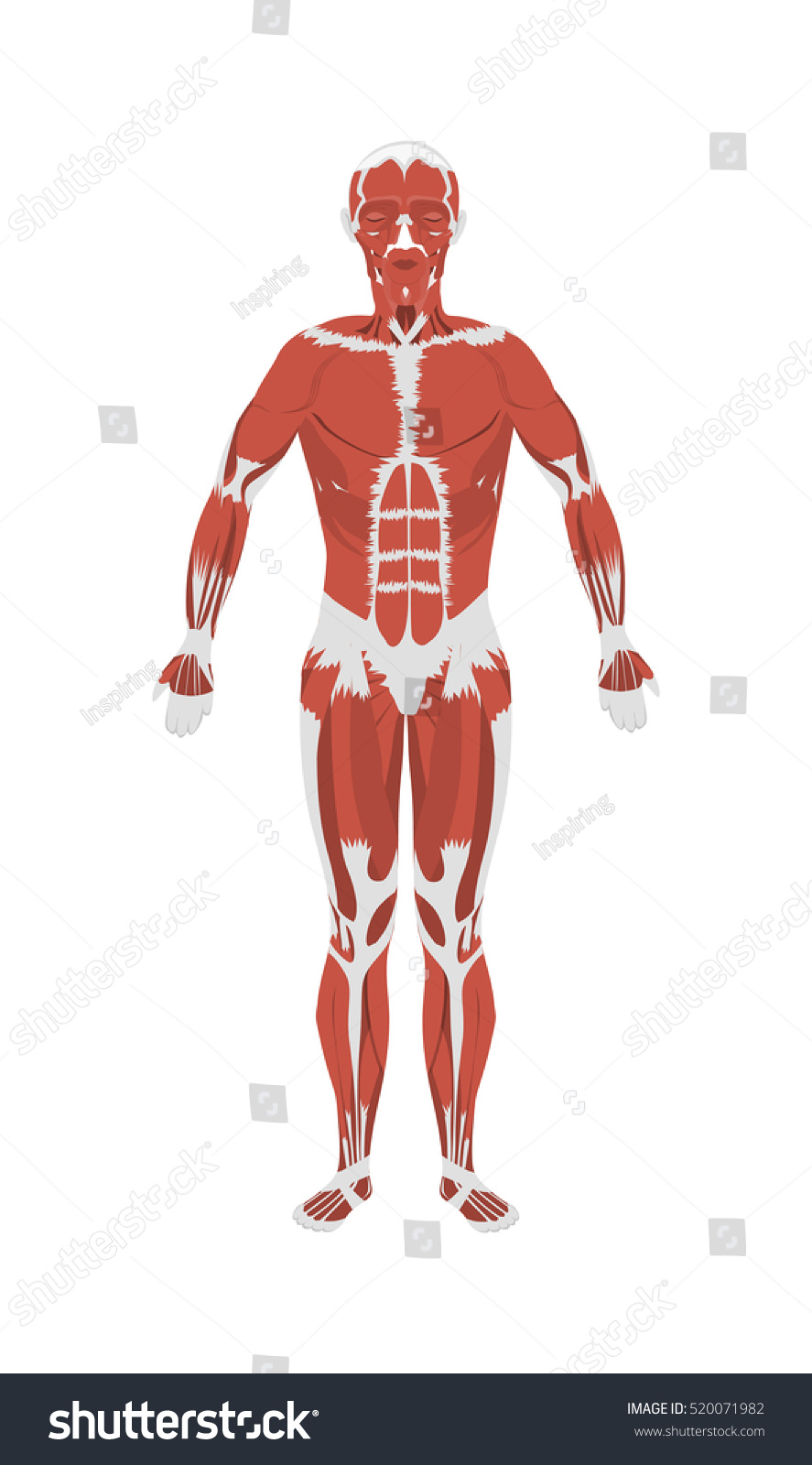 human muscles anatomy male body muscles stock illustration, Muscles