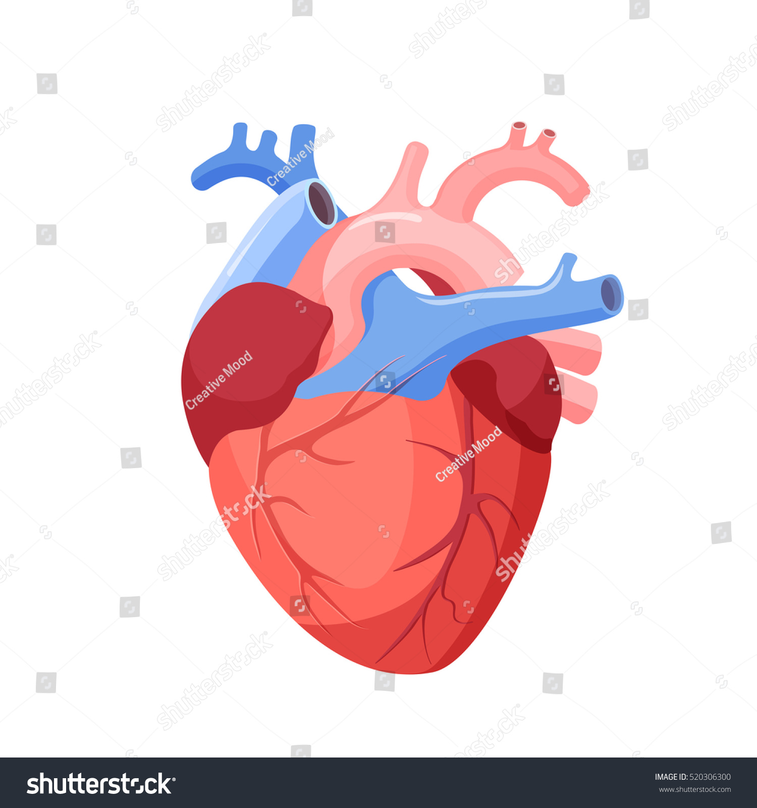 Anatomical Heart Isolated Muscular Organ Humans Stock Vector ...