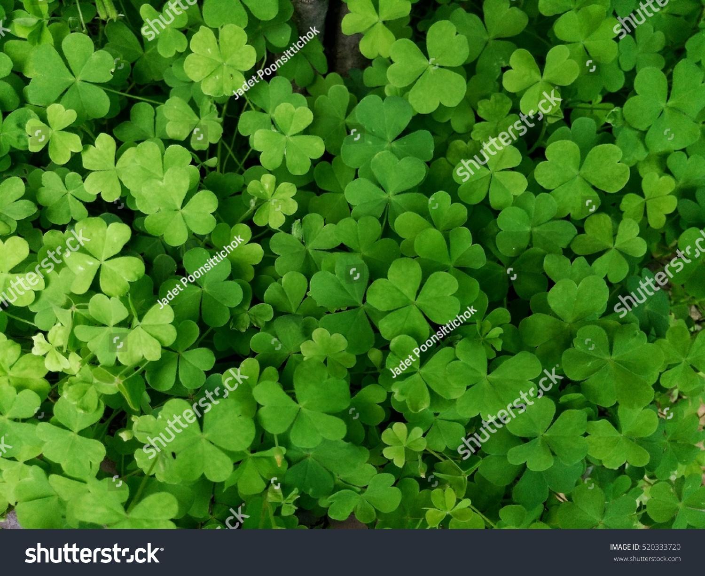 Leaf clover #520333720