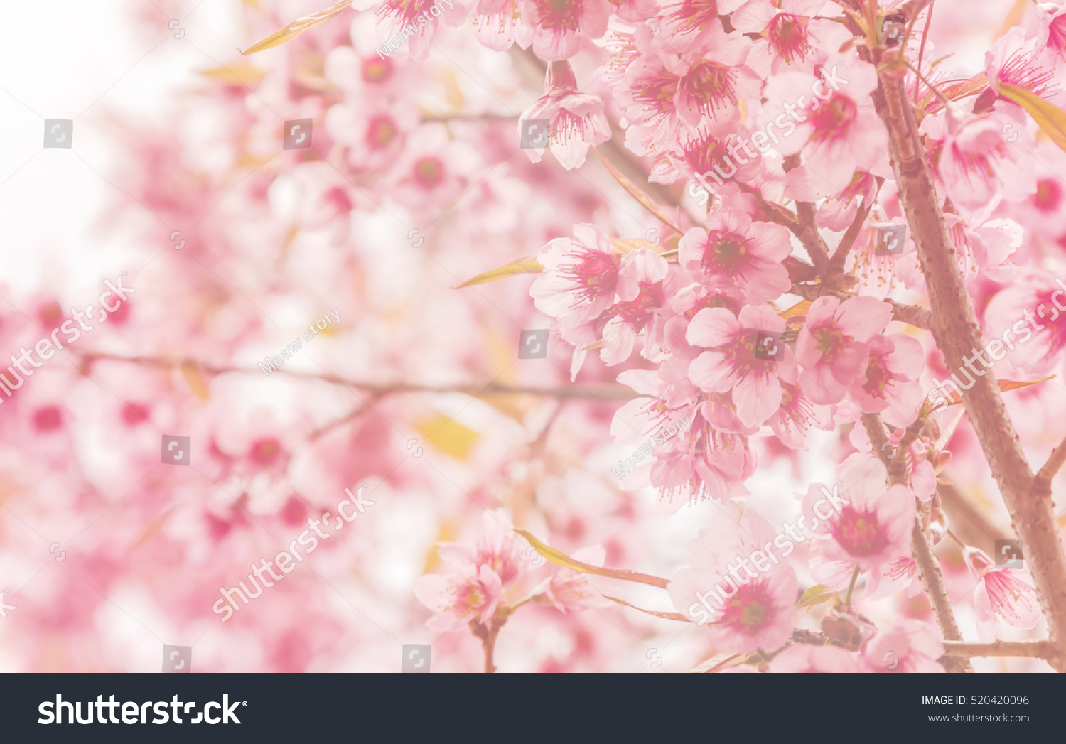 Beautiful soft blur pink flowers cherry stock photo 520420096 beautiful and soft blur of pink flowers cherry blossom or sakura flower with soft blur background dhlflorist Images