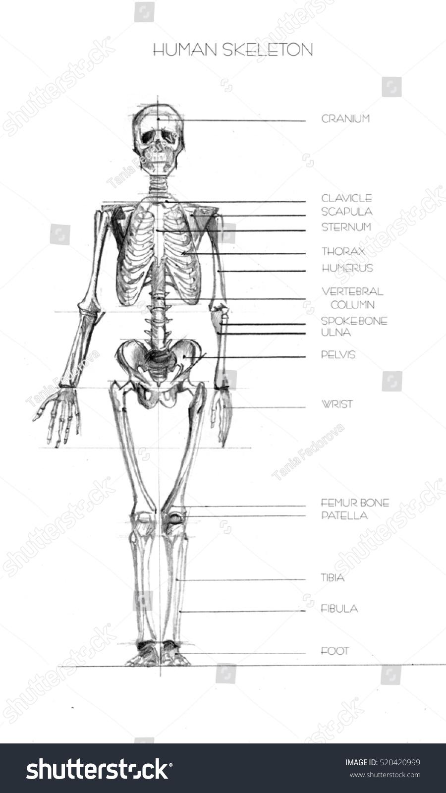 Human Anatomy Realistic Detailed Skeleton Fulllength Stock