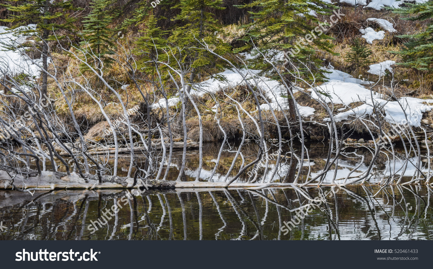 Reflection of branches of a fallen tree on Hallam Lake in Aspen, Colorado, in late winter or early spring, as snow melts from the mountain.