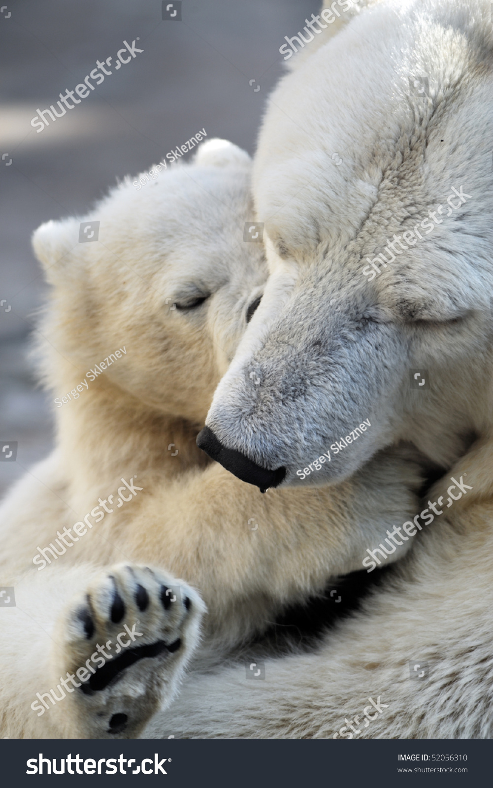 little polar bear cub playing his stock photo 52056310