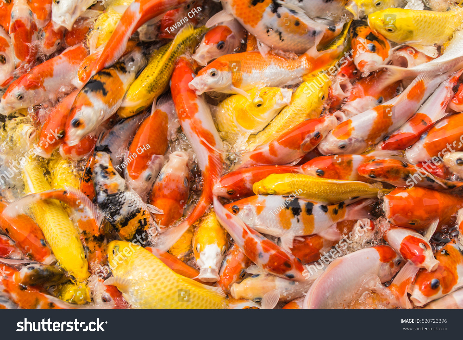 Koi fish pond stock photo 520723396 shutterstock for Koi holding pool