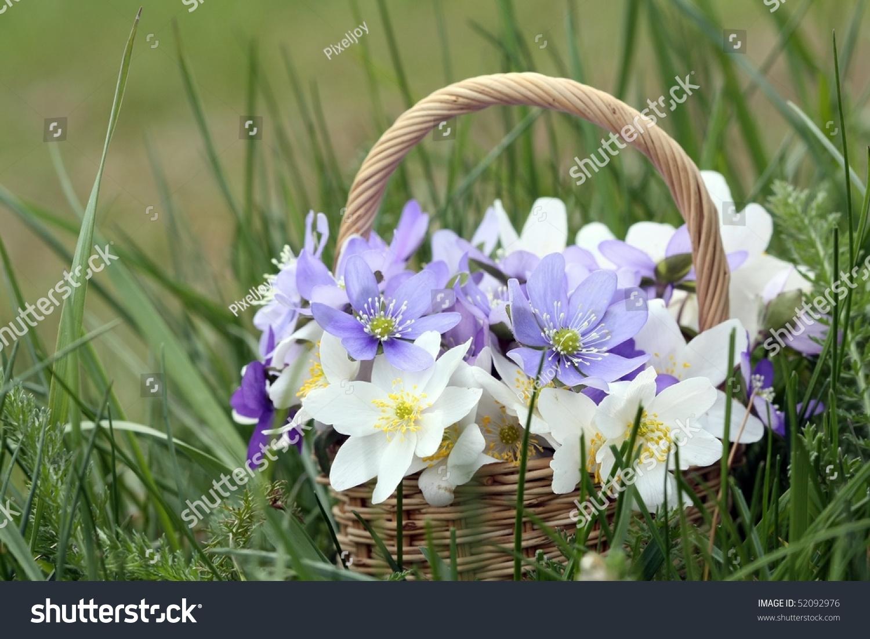 Basket Wild Spring Flowers Windflowers Liverworts Stock Photo Edit