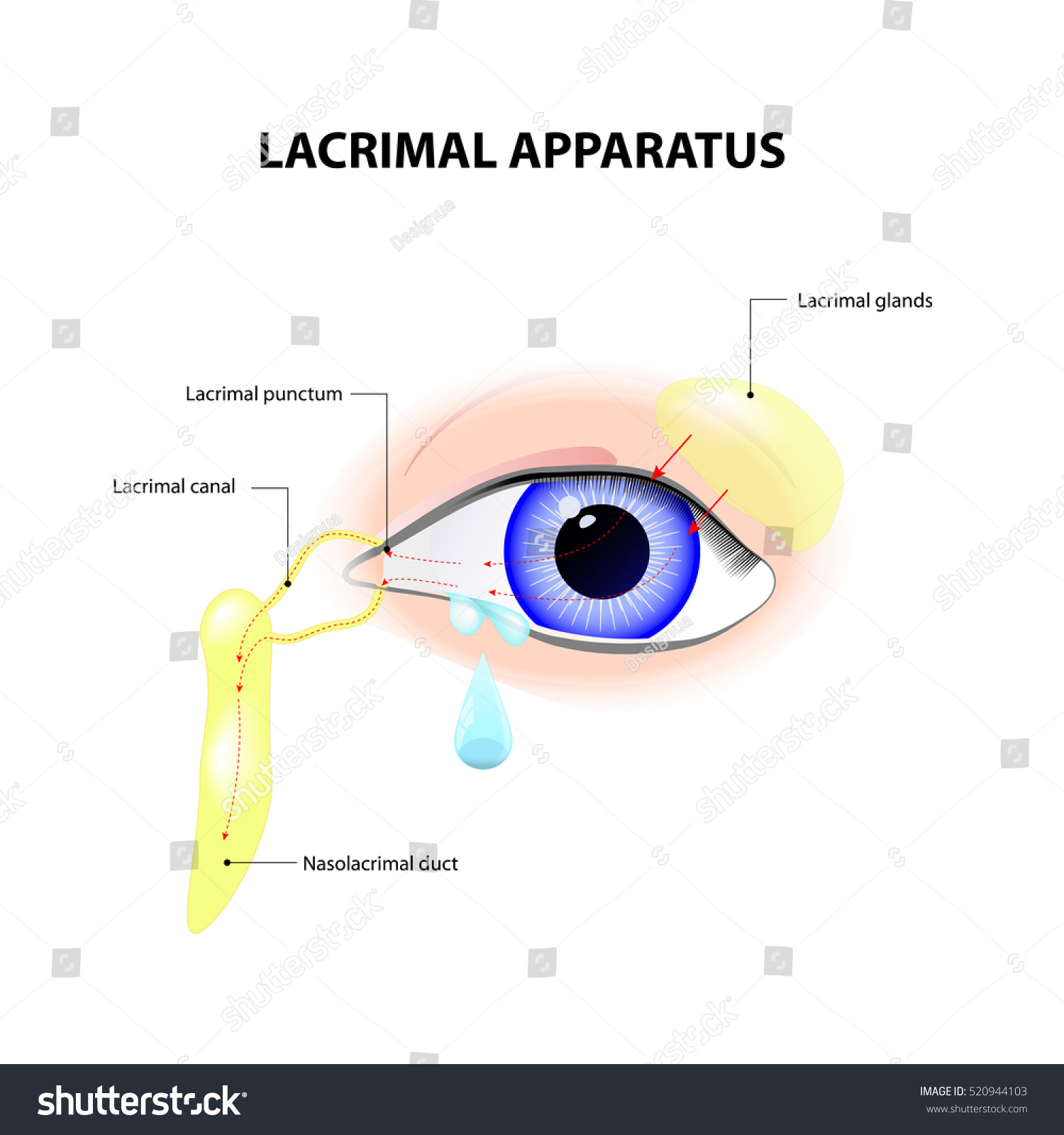 Lacrimal Apparatus Anatomy Lacrimation Secretion Tears Stock ...