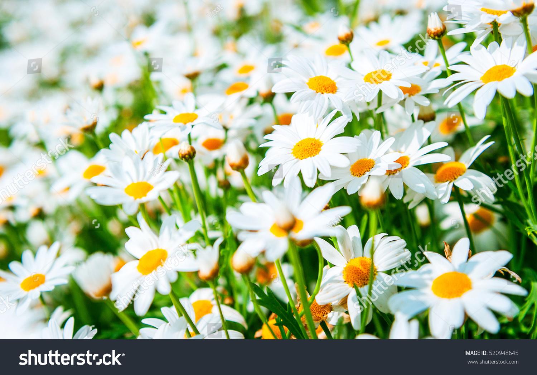 Field Daisy Flowers Stock Photo Edit Now 520948645 Shutterstock