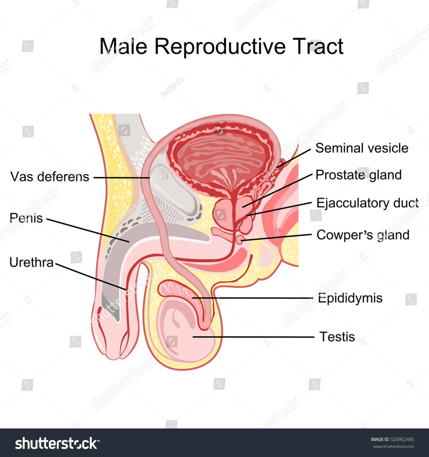 Male Reproductive Tract Vector Ez Canvas