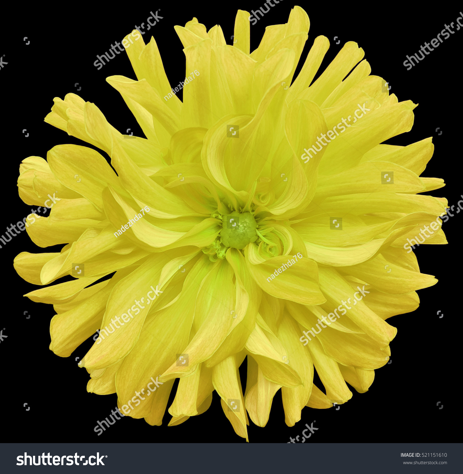 Yellow Big Flower Light Green Center Stock Photo Royalty Free