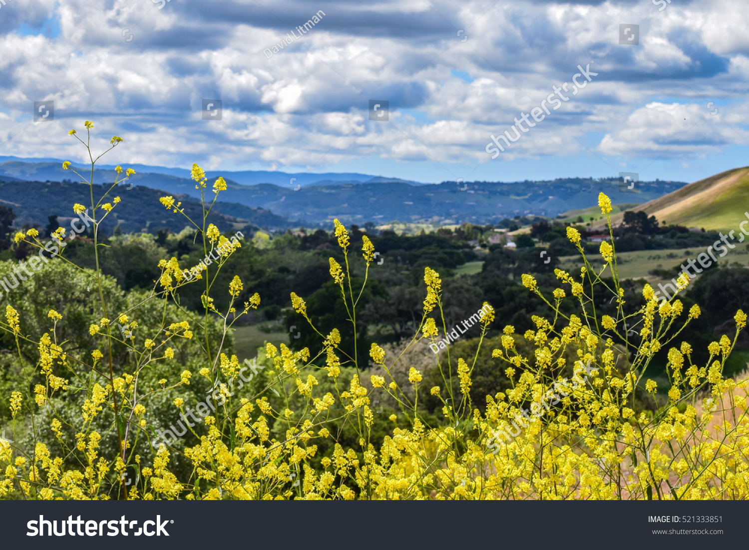 Yellow wildflowers grow tall in the foreground, along a hiking trail of Fort Ord National Monument, with a view of rolling hills and clouds in the Salinas area of Monterey County in central California