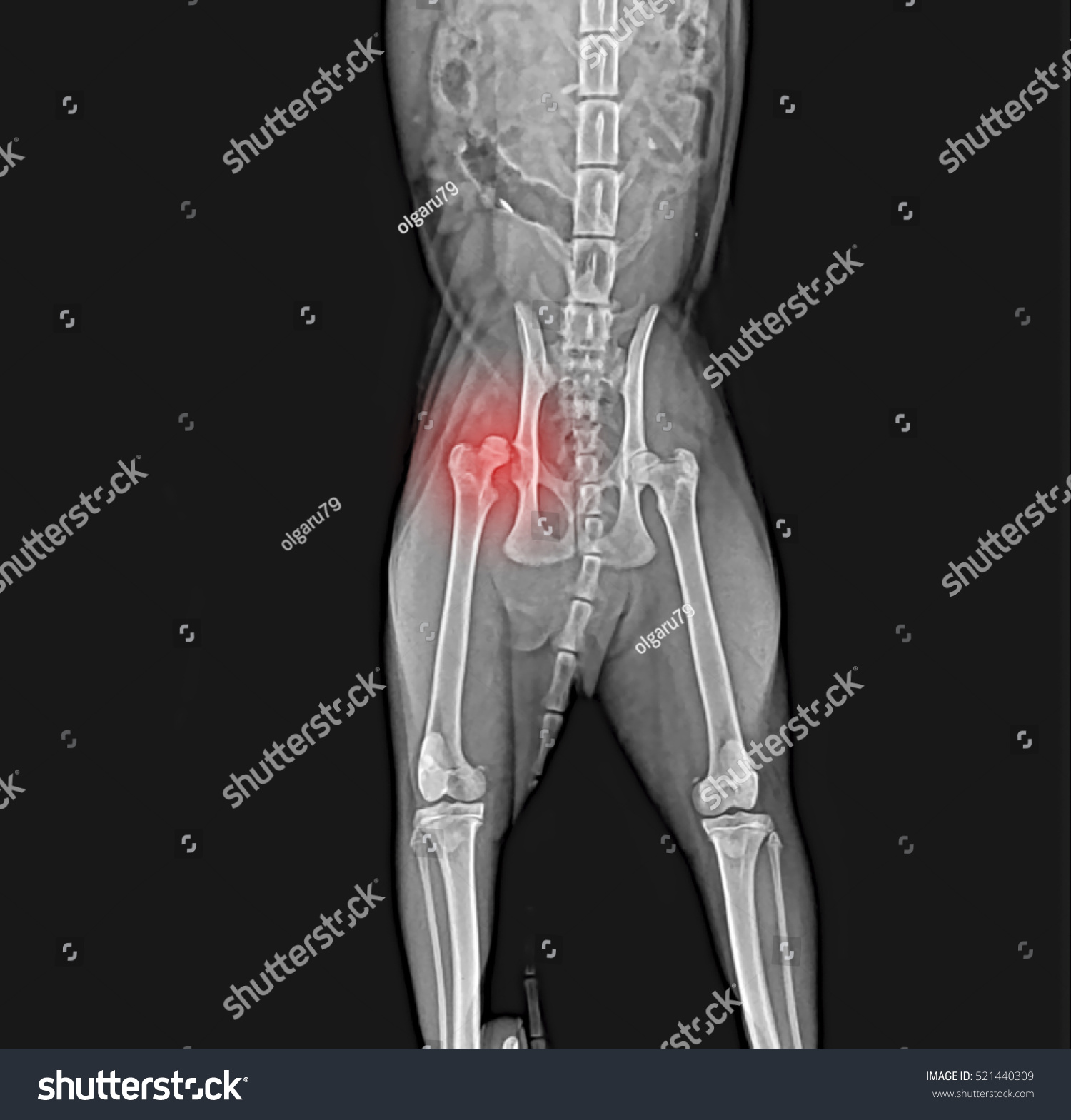 Xray Dog Pelvis Dislocation Head Femur Stock Photo (Edit Now ...