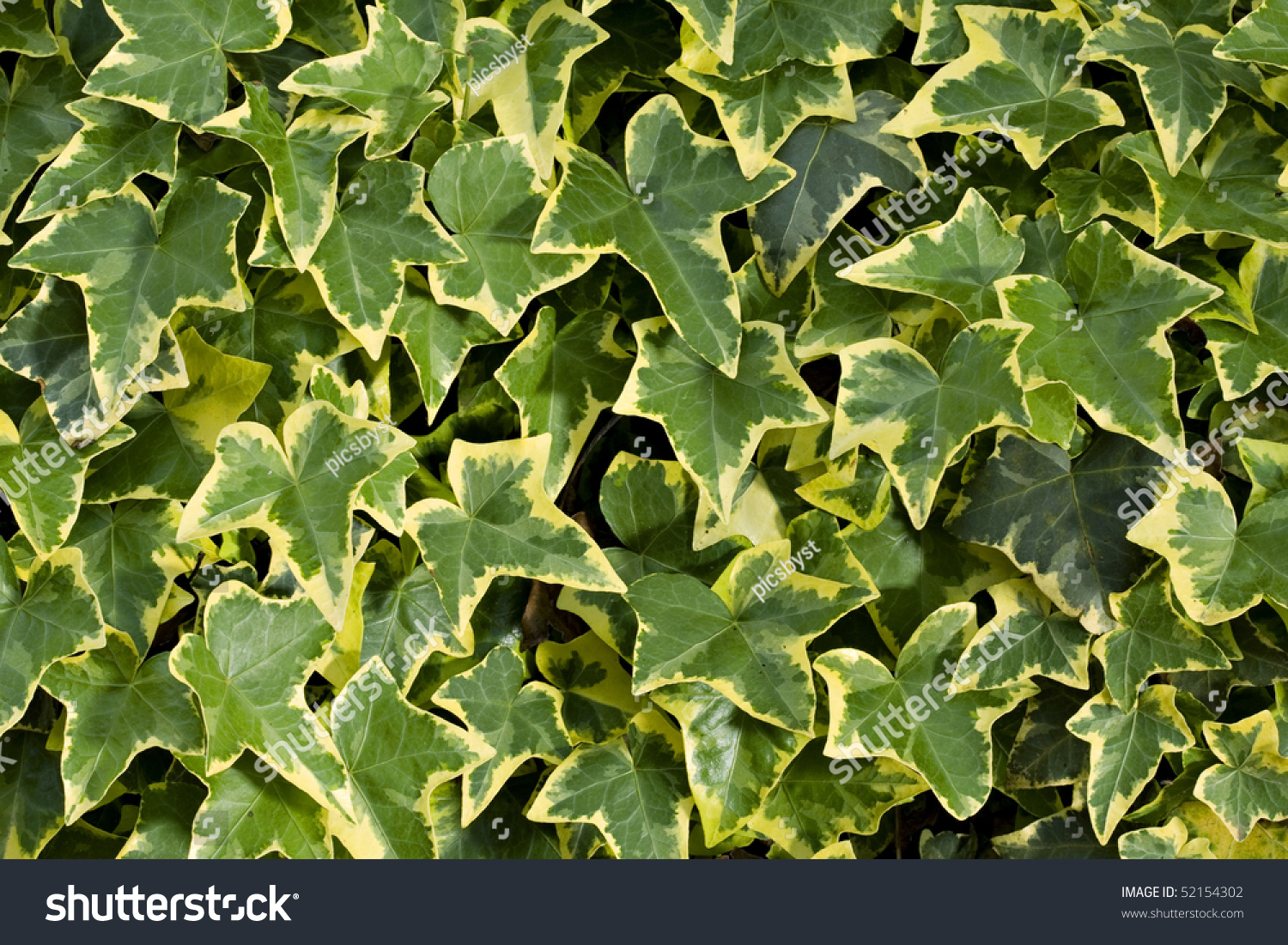 Beautiful Yellow Green Ivy Background Stock Photo Safe To Use
