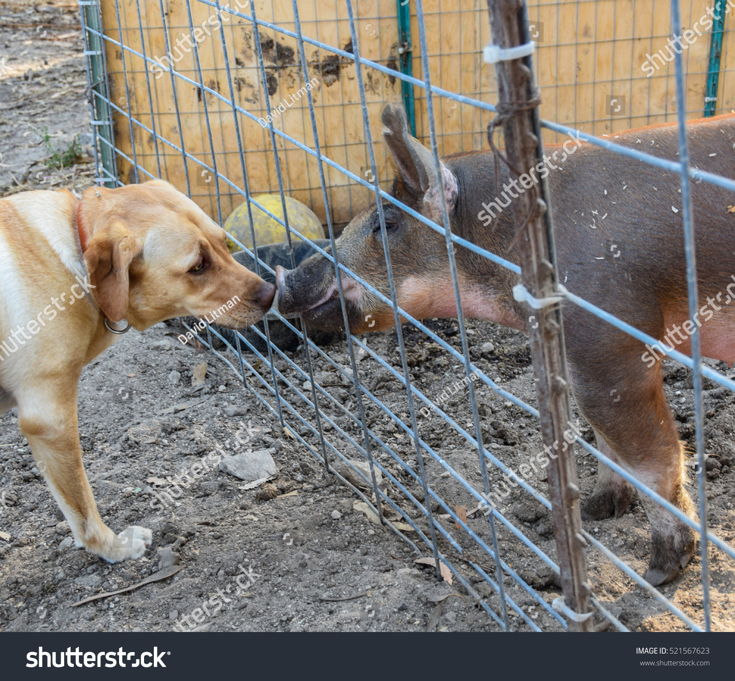 A curious dog (yellow Labrador Retriever) approaches and kisses a fenced pig before the Monterey County fair in central California.