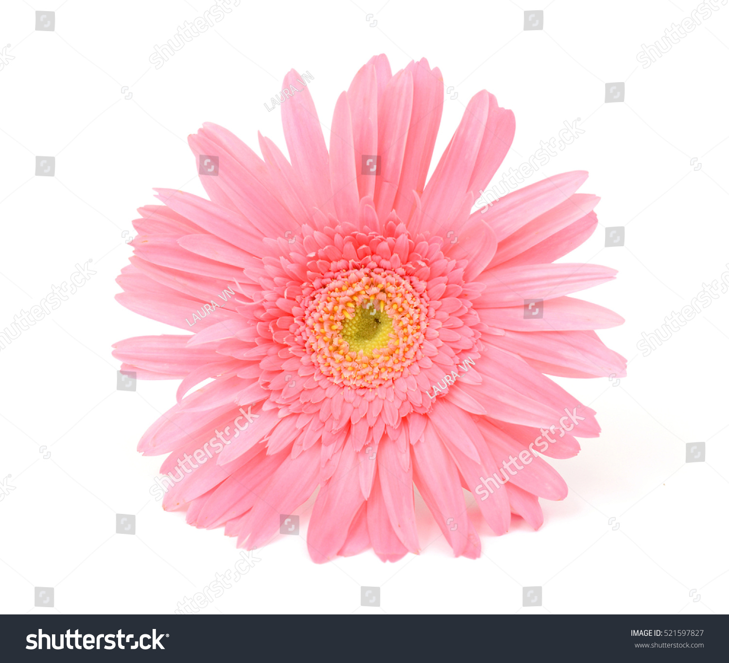 Beautiful Pink Gerbera Flower Isolated On Stock Photo Edit Now