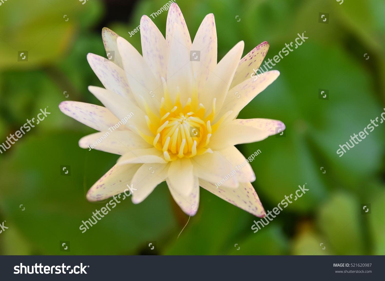 White Yellow Lotus Flower Lotus Flower Stock Photo Royalty Free