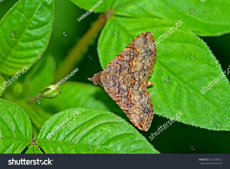 moth on leaf stock photo 521628631