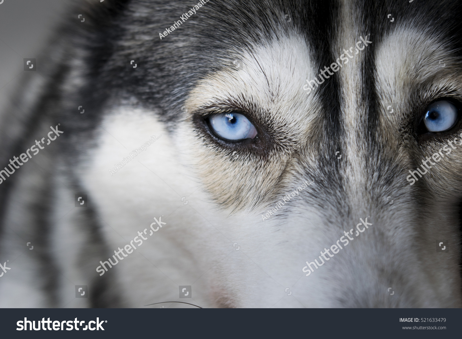 Close On Blue Eyes Siberian Husky Stock Photo Edit Now 521633479