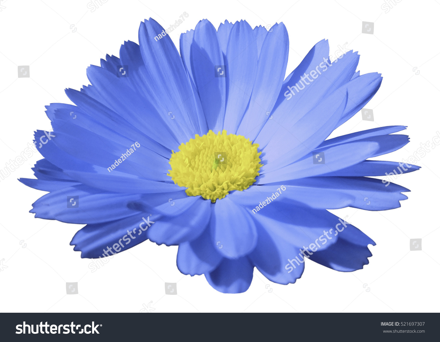 Royalty free blue flower calendula the white 521697307 stock blue flower calendula the white isolated background with clipping path closeup no shadows light yellow center nature stock photo mightylinksfo