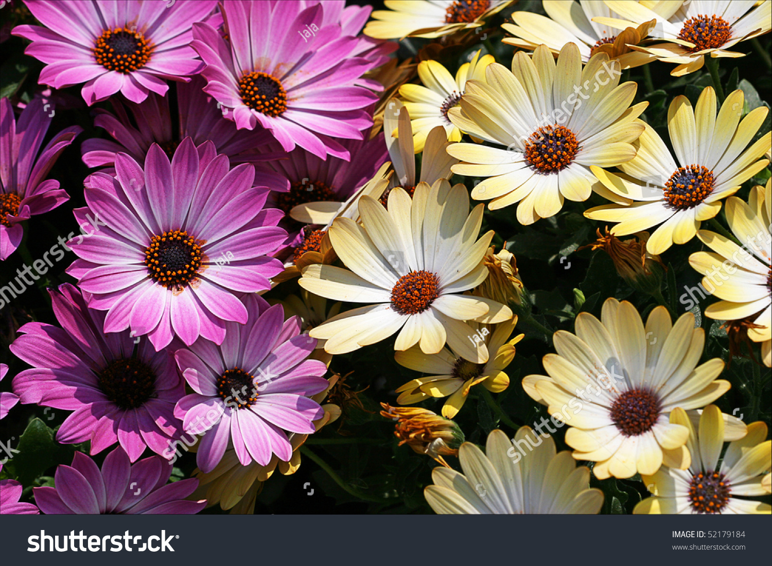 Mass Daisy Flowers Pink Yellow Stock Photo Safe To Use 52179184