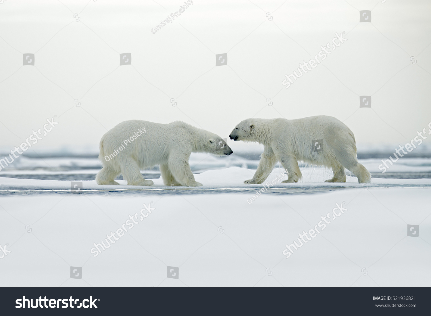 polar bear couple - photo #34