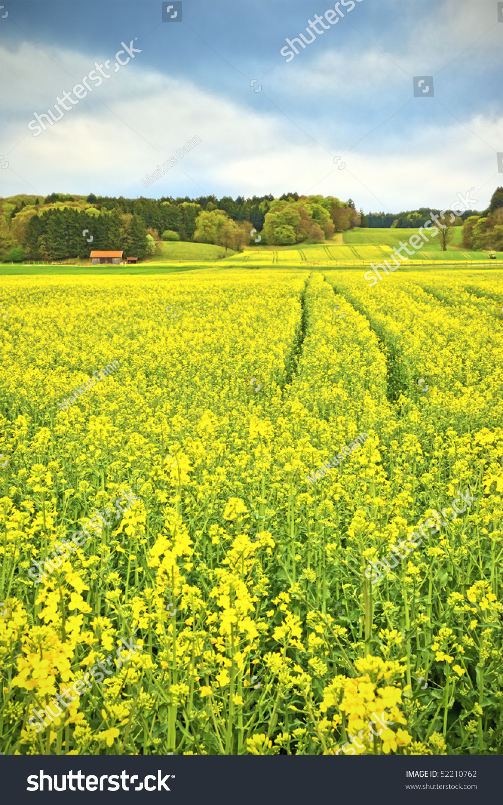 A Yellow Rapeseed Field In Bavaria Germany Stock Photo 52210762 : Shutterstock1001 x 1600 jpeg 1153kB