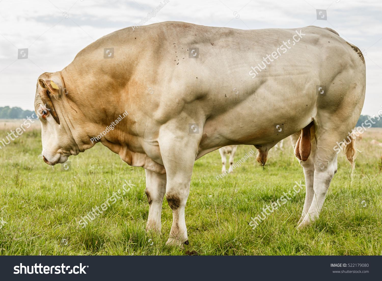 Blonde D Aquitaine Bull Studbook Threatening Attitude Stock Photo ...
