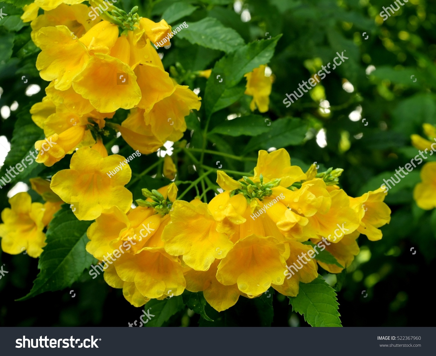 Beautiful Bunch Yellow Elder Flower On Stock Photo Edit Now