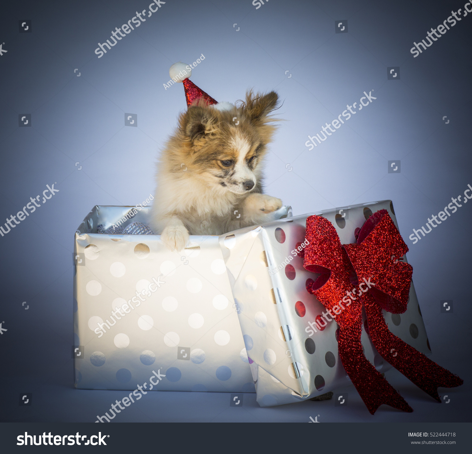 Cute Pomeranian Puppy As A Christmas Gift