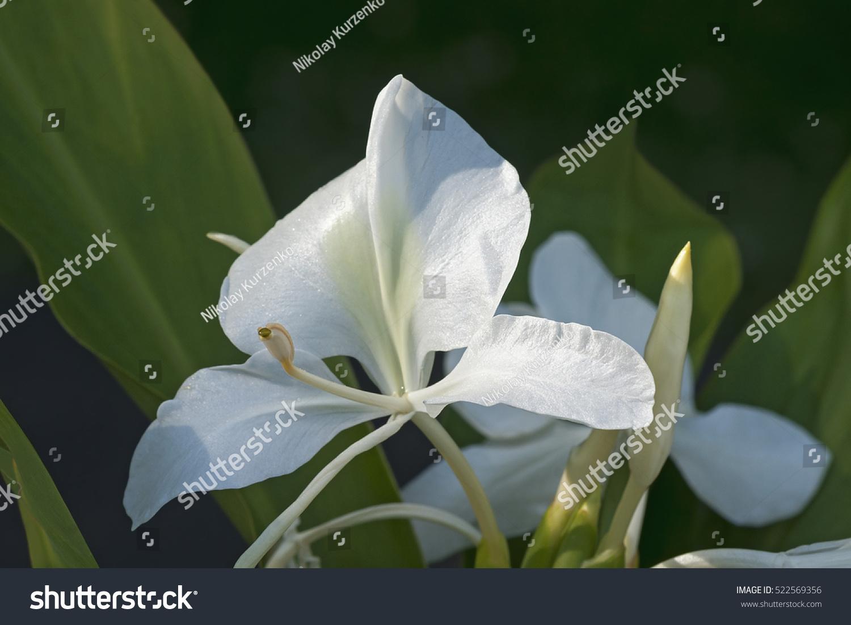 White Ginger Lily Hedychium Coronarium Called Stock Photo Edit Now