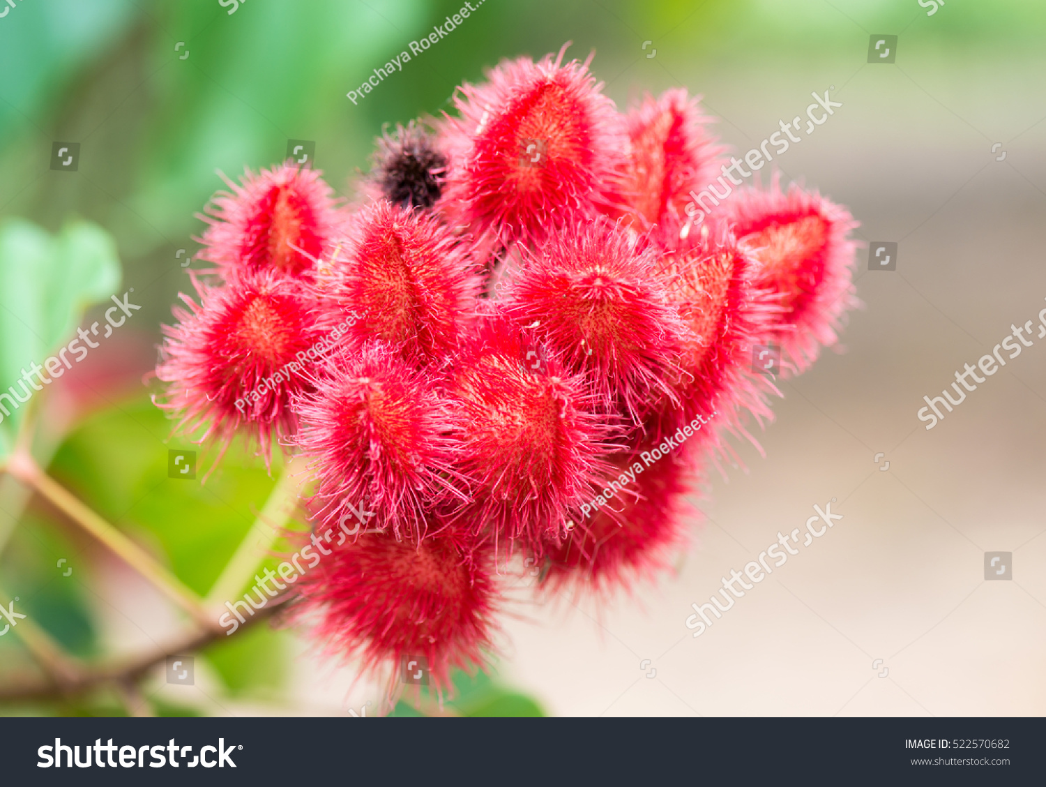 Annatto Lipstick Tree Dried Seeds Orangered Stock Photo (Royalty ...