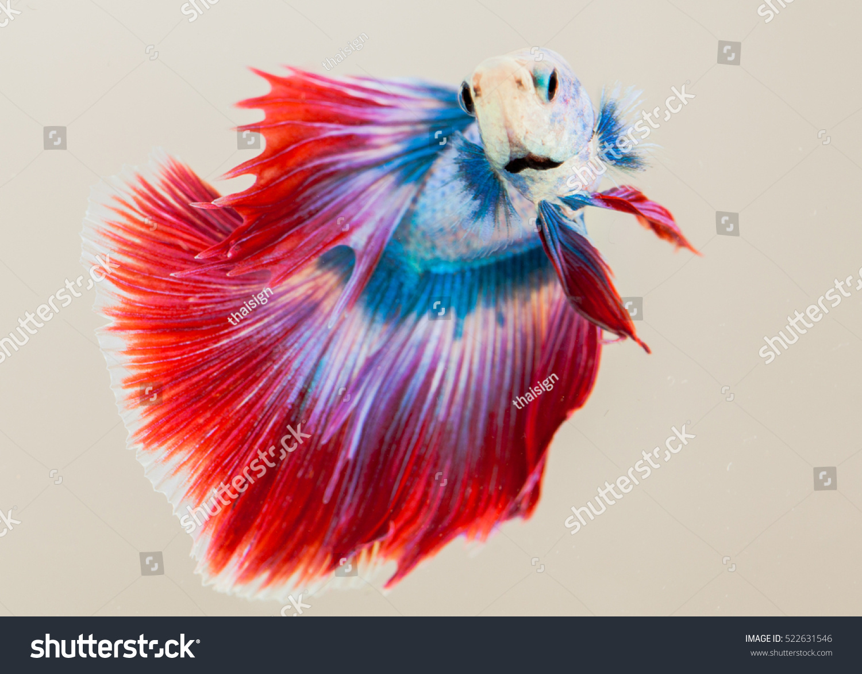 Siamese Fighting Fish Freshwater Fish Who Stock Photo (Royalty Free ...